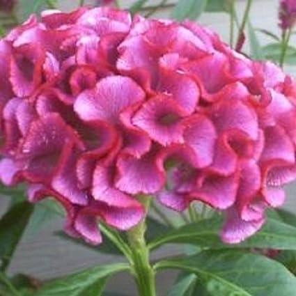 30 Neon Rose Cockscomb  Celosia Flower Seeds Self-Seeding Annual