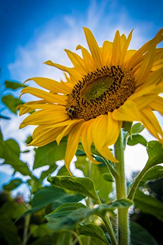 Old Lady Renee: 30+ Sunflower, Mammoth Gray Seeds -for Planting-