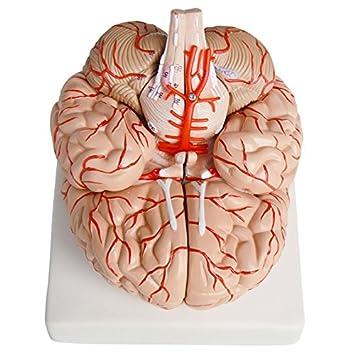 Human Anatomical Brain Artery Anatomy Healhcare Teach Training Model