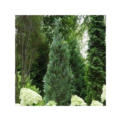 Chamaecyparis-Pinpoint-Blue - QT Pot (Shrub) : Garden & Outdoor
