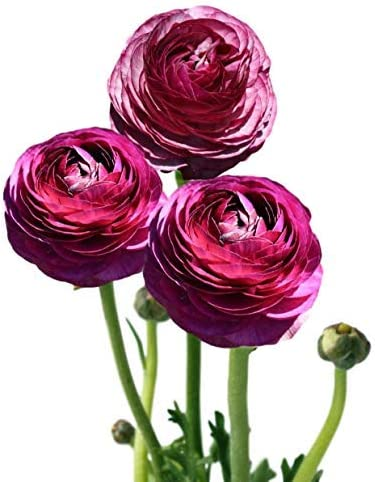 Ranunculus Tecolote Pastel Mix - Persian Buttercup Bulbs - 10 XL Bulbs - 8+ cm (Merlot)