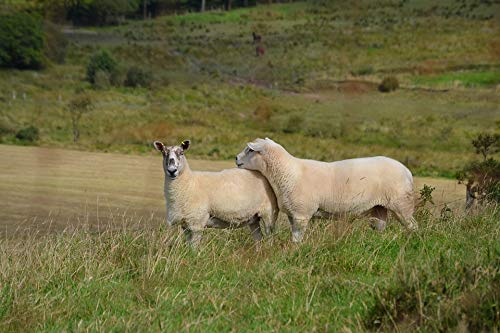 Photography Poster - Sheep, Wool, Welsh, Livestock, 24