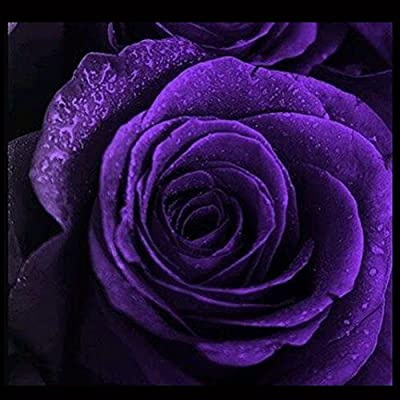BigFamily 50Pcs Purple Rose Seeds Solid Color Flower Seeds for Garden Decor