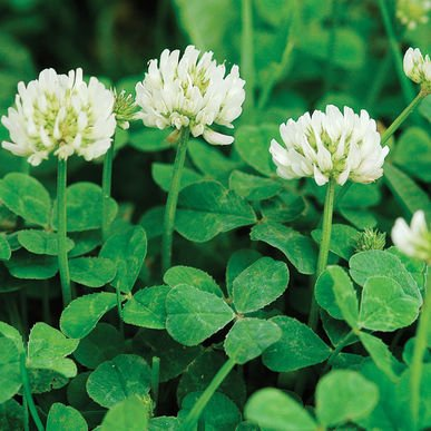 David's Garden Seeds Cover Crop New Zealand Clover L9124 (White) Open Pollinated One Pound Package by David's Garden Seeds (Image #3)