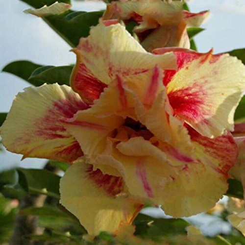 Song Dessert - Rare Adenium Obesum, Double Flower, Grafted Mature Plant, Easy Care, Desert Rose Plant, New Hybrids, Not Just Seeds (17 Aa Tit Song Grot)