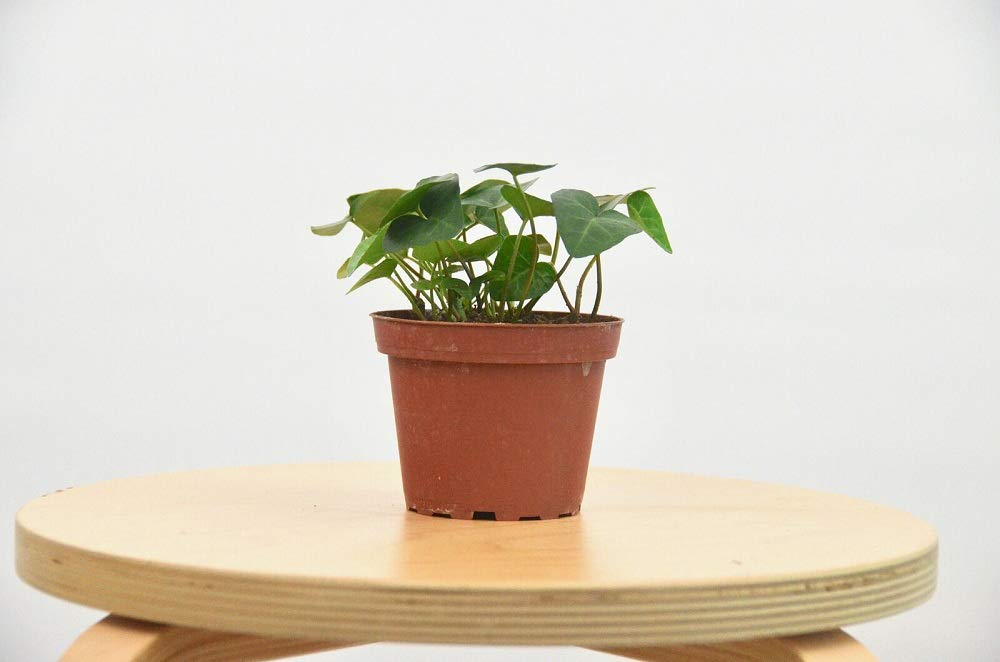 2 English Ivy 'Heart Shaped' - 4'' Pot Live House Plant TkPlant