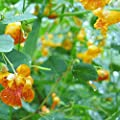 Everwilde Farms - Spotted Touch-me-not Native Wildflower Seeds - Gold Vault