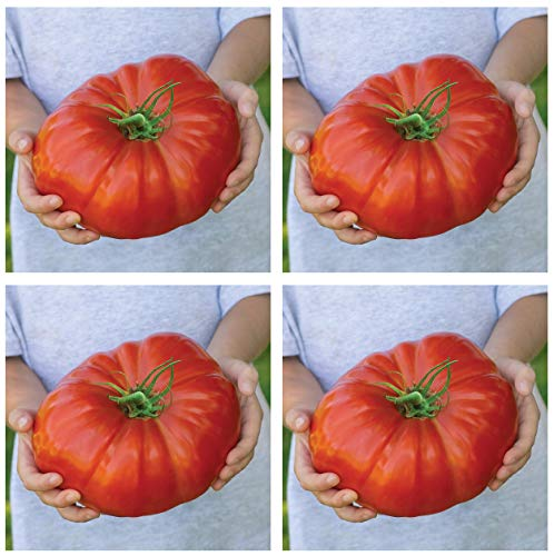 Burpee Exclusive 'Steakhouse' Hybrid | Large Red Beefsteak Slicing 1-3lbs Tomato | 25 Seeds (Fоur Расk)