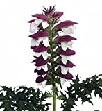 Bear's Breeches Plant - Acanthus spinosus - Gallon Pot