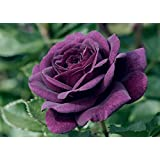 EBB TIDE - 4lt Potted Floribunda Garden Rose Bush - Gorgeous Purple/Blue Blooms, Highly Fragrant - Very Unusual