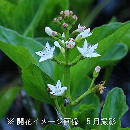 水生植物:ミツガシワ(三槲) 素掘り苗100株【紫桜館山の花屋】 B072ZNDPNY