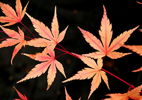 Coral Bark Japanese Maple Acer palmatum 'Sango Kaku' 3 - Year Live Plant Brilliant Red Bark is Bright Red, Year Round Beauty With a Spectacular Range of Leaf Colors by Japanese Maples and Evergreens (Image #6)