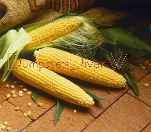 Sugar Buns Early Yellow Extra Sweet Gourmet Hybrid Sweet Corn 35+ Seeds Non-GMO ()