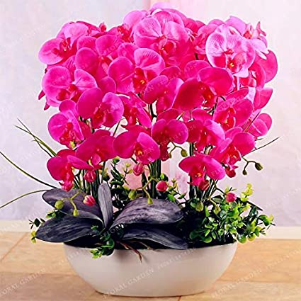 Amazon.com: Cymbidium Bonsai | Butterfly Orchid Bonsai for Home Garden(100pcs): Cell Phones & Accessories