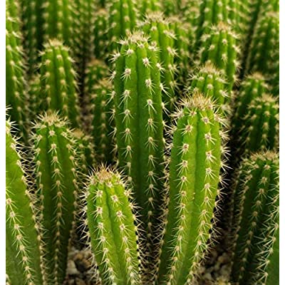 Cheap Live Plant Cactus Cacti Succulent Yungasocereus inquisivensis Get 1 Easy Grow #PDE01YN : Garden & Outdoor