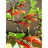 Plentree Seeds Package: Goldfish Plant** (Columnea Gloriosa)