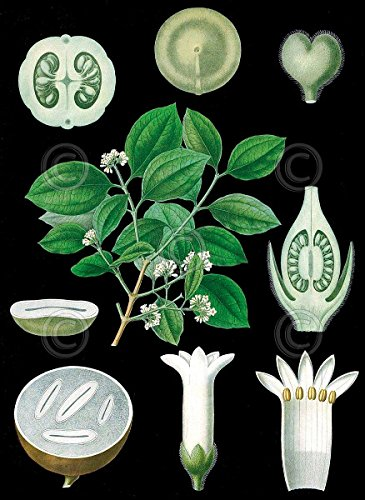 (German Educational Plate: Strychnos nux vomica Vintage Reproduction Print Poster 11x14)