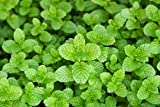 LIVE Mint Spearmint Herb Plant - Organic NON-GMO - 2 (TWO) Plants Fit 3.5'' Pot