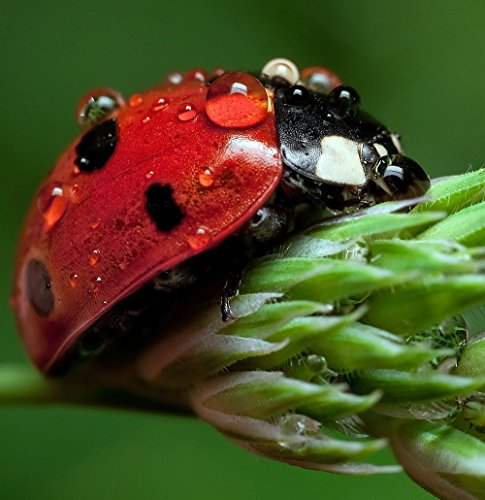 Ladybug Live (1500 Ladybugs - Nectar - Plus Pack of Flower Seeds to Attract Beneficial Insects)