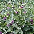 Outsidepride Comfrey - 100 seeds