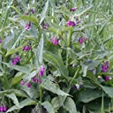 Outsidepride Comfrey - 100 seeds