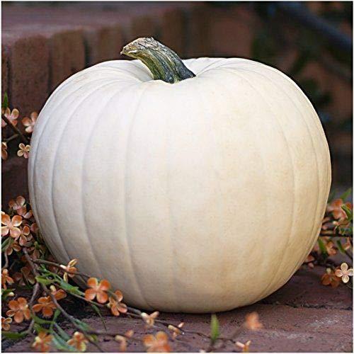 20 pc Lumina White Pumpkin Seeds Fresh Home Garden Fruit Seed Halloween ()