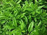 Madder, Rubia Tinctorum, Rubiaceae, 20 Seeds per Pack, Organic, Heirloom, GMO Free Seeds,
