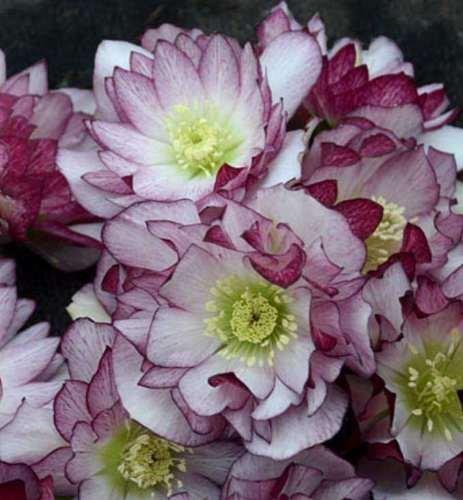 Helleborus BLUSHING BRIDESMAID~3 year plant~Double Flower Lenten Rose (Hellebore Plant)