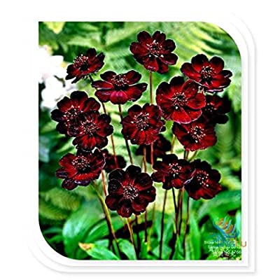 Hot Selling!!! 50 Seeds Chocolate Cosmos - Blooms all summer long and has rich scent like chocolate, DIY Home Garden flower : Garden & Outdoor