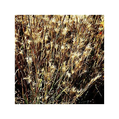 Andropogon ternarius (38) Bluestem Grass Grasses Cell Tray Zone 6-9 Wholesale : Garden & Outdoor