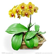 Hot Selling 20pcs Bonsai Balcony Flower Butterfly Orchid Moth Orchid Seeds Multi Colors