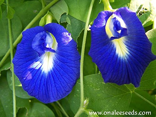 Butterfly Pea Vine Seeds: Single and Double Blue and White Mix, Clitoria ternatea, bunga telang, Edible/Tea and Decorative, Butterfly Garden/Host Plant (15+ Seeds) From USA. by Onalee's Seeds (Image #2)