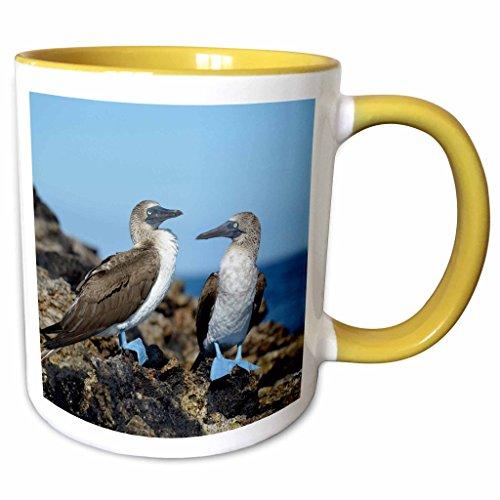 3dRose Danita Delimont - Birds - Ecuador, Galapagos Islands, Isabela Island. Blue-footed Booby. - 15oz Two-Tone Yellow Mug (mug_207624_13)