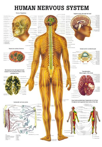 Anatomical Worldwide CH05 The Human Nervous System Laminated Anatomy - System Chart Nervous Anatomical