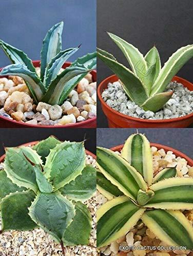 4'' Pot Plants Variegated Agave Collection Rare variegata Succulent Aloe Cactus by Javagado Land (Image #1)