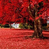 50 particles Beautiful Japanese Red Maple Seeds, tree seed
