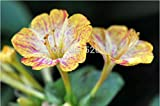 Best Selling! Colorful fragrant jasmine Seeds ,Jasminum sambac (Linn.) Aiton flower seed - 20 Seed particles