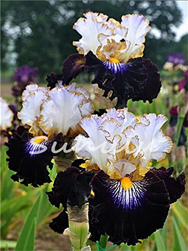 (2017 Sementes Seeds Bestselling Phalaenopsis Iris Seeds Potted Plants Perennial Orchid Flowers Diy For Home & Garden - 20 Pcs 7)