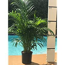 Areca Palm - Big - Beautiful Florist Quality Plant - Dypsis Lutescens