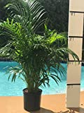 Cheap Areca Palm – BIG – Beautiful Florist Quality Plant – Dypsis Lutescens