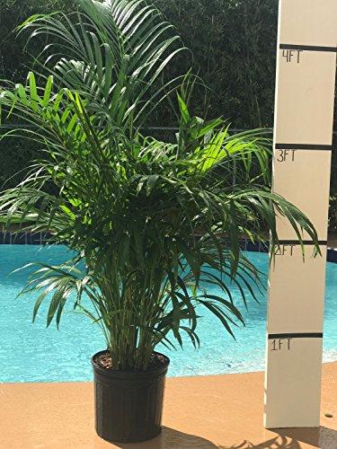 Cheap Areca Palm – BIG – Beautiful Florist Quality Plant – Dypsis Lutescens