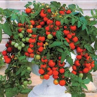 Red Robin Cherry Tomato 250 Seeds UPC 646263363232 + 4 Plant Markers - Ultimate-Patio-Tomato (Dwarf Cherry)