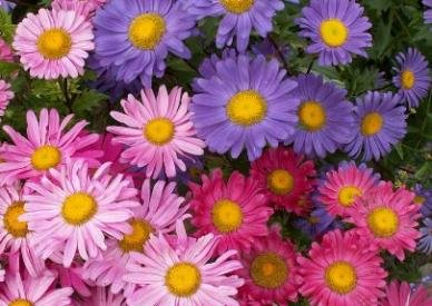 David's Garden Seeds Flower Aster Single Mix AT111YB (Mulit) 500 Open Pollinated Seeds