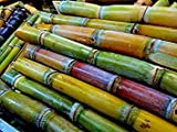 Tara-garden SUGAR CANE THAI AKHA HEIRLOOM SEED VERY JUICY & SWEET RARE TROPICAL