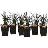Black Mondo Grass Ophiopogon Nigrescens Set of 6 Potted Plants   Easy To Grow!