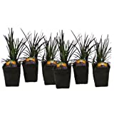 Black Mondo Grass Ophiopogon Nigrescens Set of 6 Potted Plants | Easy To Grow!