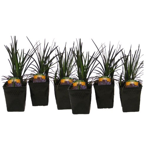 Black Mondo Grass Ophiopogon Nigrescens Set of 6 Potted Plants | Easy To Grow