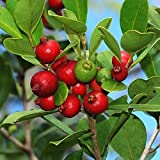PSIDIUM LITTORALE - YELLOW STRAWBERRY GUAVA - PLANT - APPROX 12-20 INCH