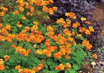 Geum fire storm 5x35cm plug plant avens perennial amazon geum fire storm 5x35cm plug plant avens perennial mightylinksfo