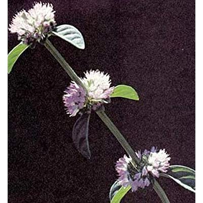 Herb Seeds - Pennyroyal : Garden & Outdoor